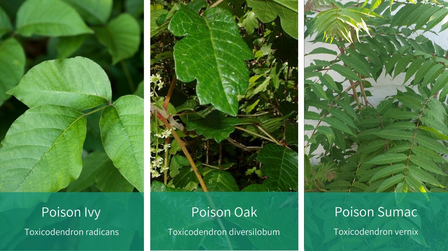 know your poison ivy oak and sumac integris